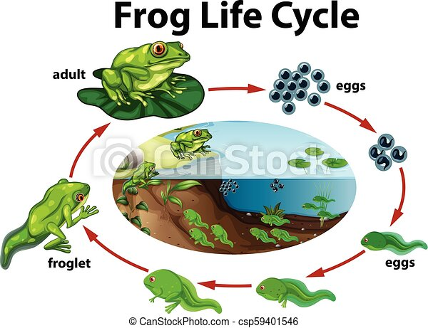 A frog life cycle - csp59401546