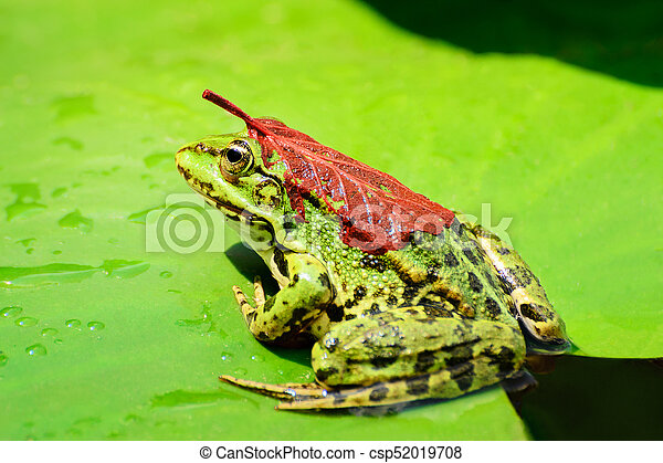 A frog with a red leaf on its back sits on a leaf of a water lily on a lake in the middle of a forest on a warm, sunny summer day II - csp52019708