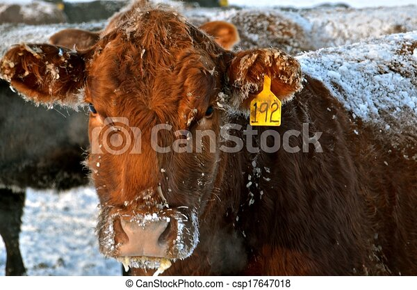 A Frosted over Inquisitive Beef Cow - csp17647018