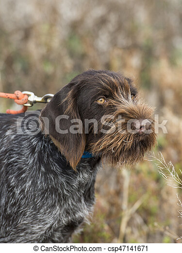 German Wirehaired Pointer For Sale Nz