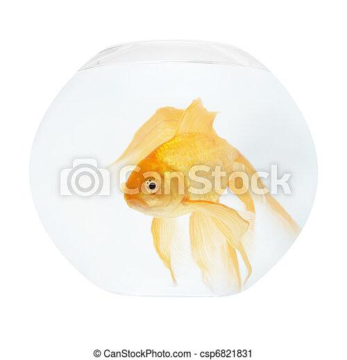 A golden fish in aquarium - csp6821831
