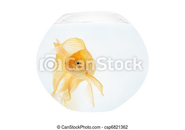 A golden fish in aquarium - csp6821362