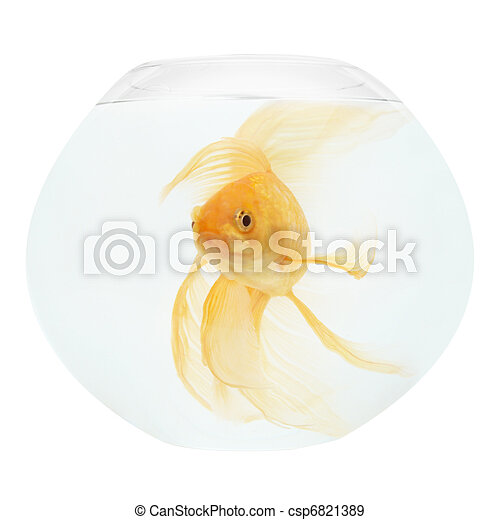 A golden fish in aquarium - csp6821389