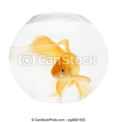 A golden fish in aquarium - csp6821633
