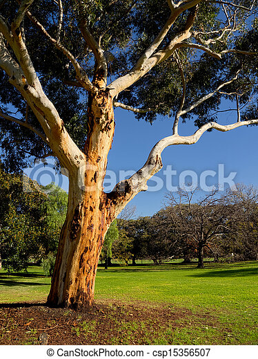 a graceful old australian eucalyt tree - csp15356507
