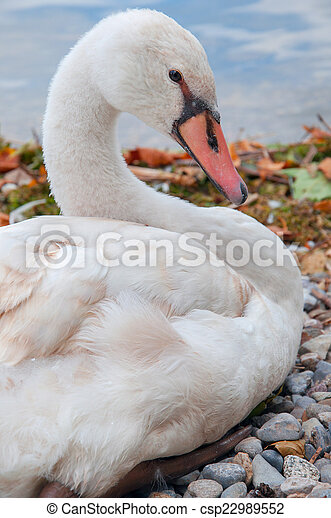 a graceful swan on the shore of a lake - csp22989552