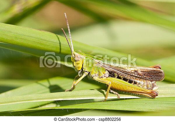 A grasshopper on the grass - csp8802256