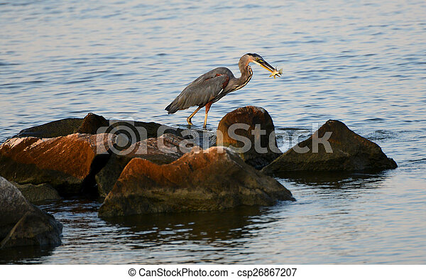 A Great Blue Heron Day - csp26867207