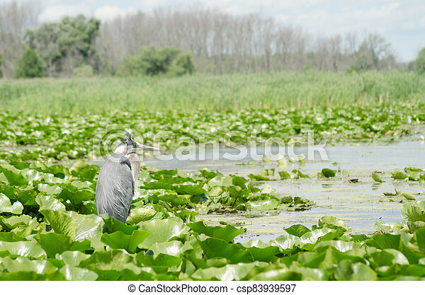 A Great Blue Heron in the marsh - csp83939597