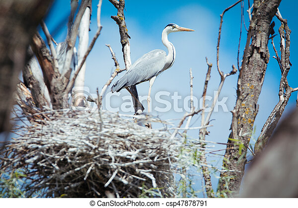 A Great Blue Heron Standing in it's Nest - csp47878791