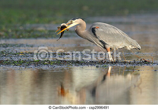 A Great Blue Heron with Fish - csp2996491