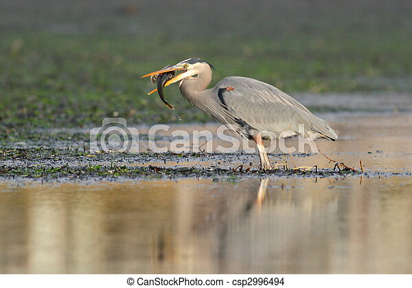 A Great Blue Heron with Fish - csp2996494
