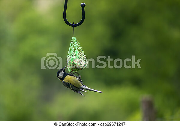 A great tit , Parus major, feeding on suet fatball in garden. Feeding wild birds in winter. - csp69671247