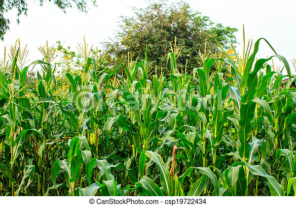 A green field of corn  - csp19722434
