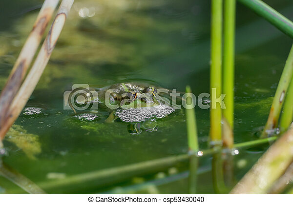 A green frog in the pond - csp53430040