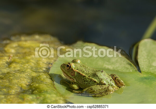A green frog sitting in the pond full of water lilies - csp52885371