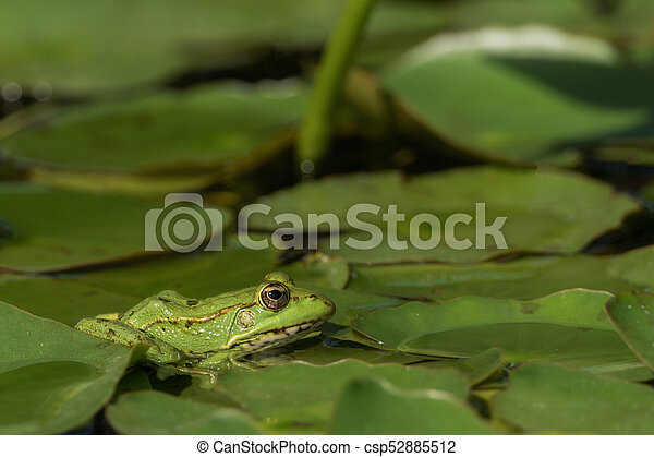 A green frog sitting in the pond full of water lilies - csp52885512