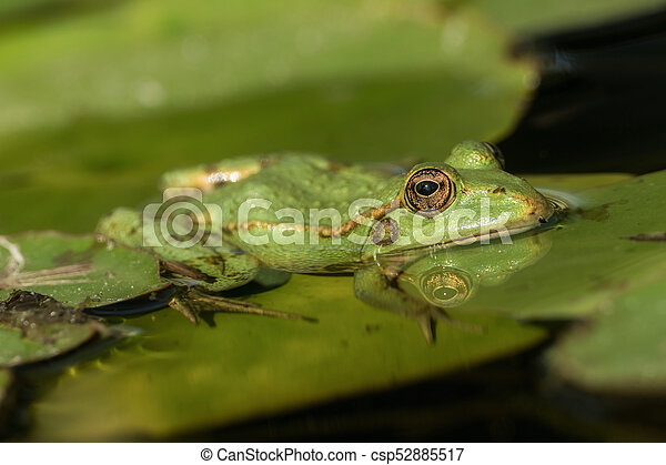 A green frog sitting in the pond full of water lilies - csp52885517