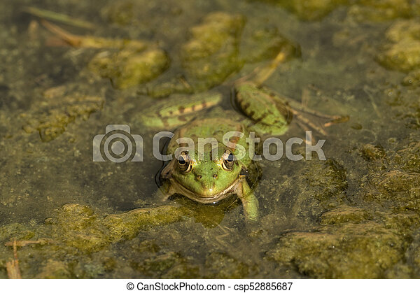 A green frog sitting in the pond full of water lilies - csp52885687