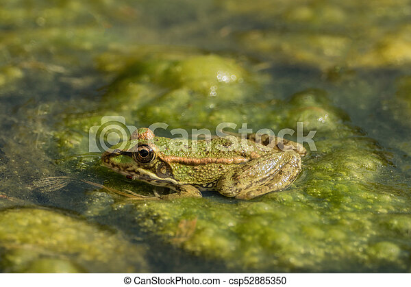 A green frog sitting in the pond full of water lilies - csp52885350