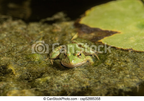 A green frog sitting in the pond full of water lilies - csp52885358