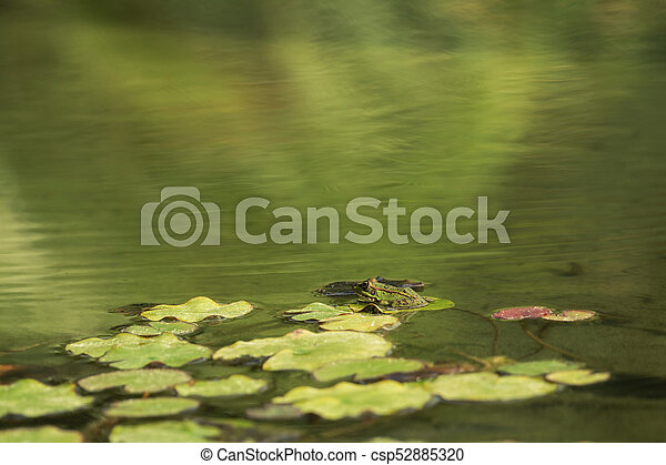 A green frog sitting in the pond full of water lilies - csp52885320