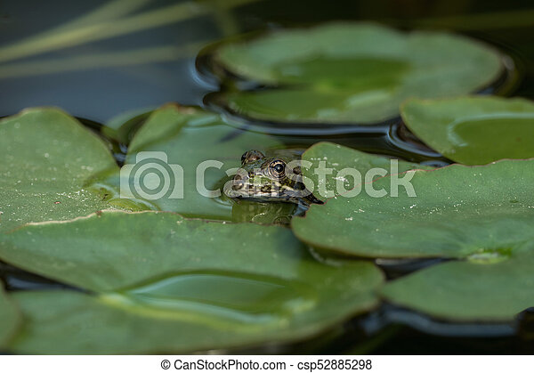 A green frog sitting in the pond full of water lilies - csp52885298