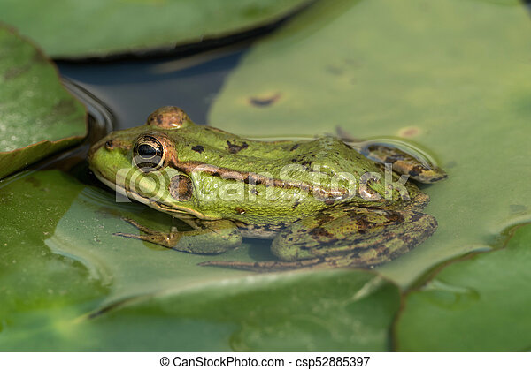 A green frog sitting in the pond full of water lilies - csp52885397