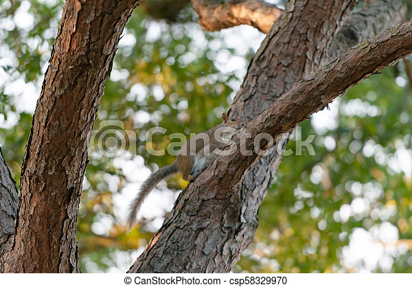 A Grey Squirrel in the branches of a Pine tree - csp58329970