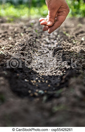 a hand sowing seeds into the soil - csp55426261