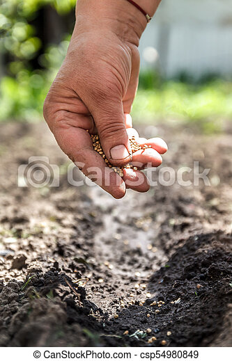 a hand sowing seeds into the soil - csp54980849