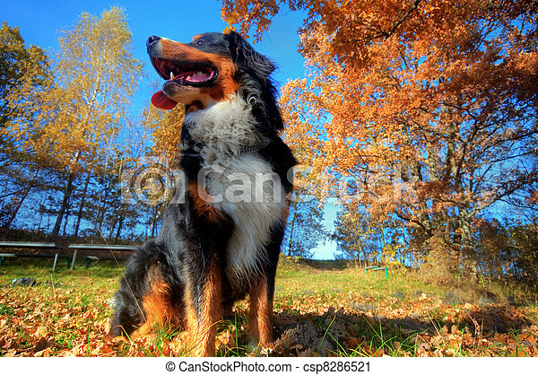 A happy Bernese mountain dog outdoors - csp8286521