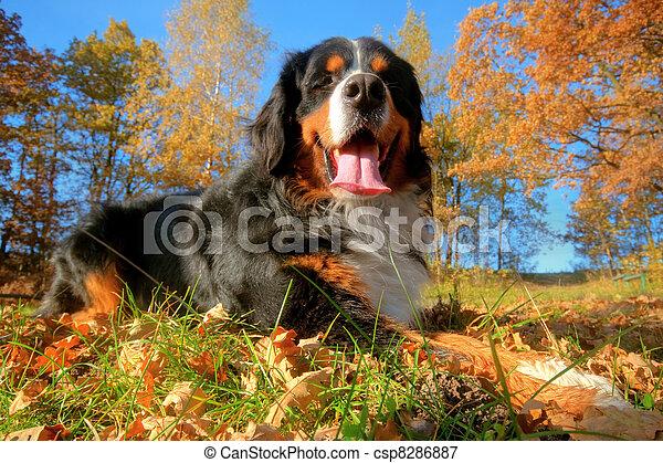 A happy Bernese mountain dog outdoors - csp8286887