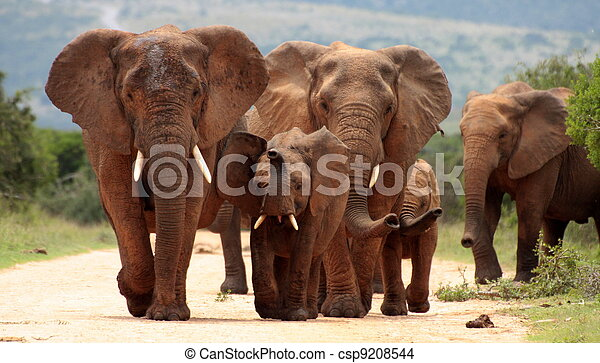 A herd of elephants charge in Addo - csp9208544