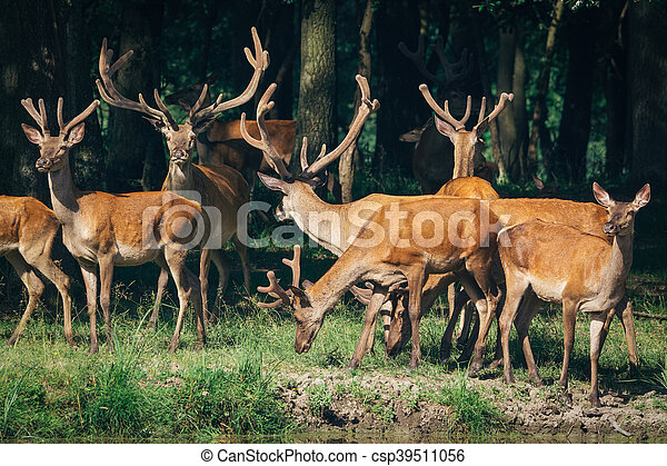 a herd of red deer in a forest - csp39511056