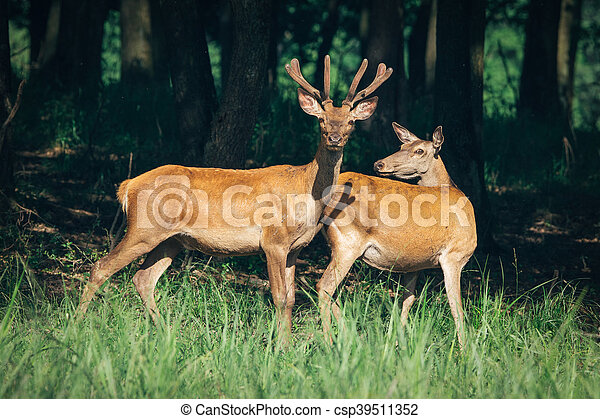 a herd of red deer in a forest - csp39511352