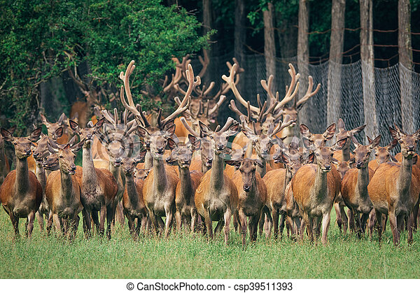 a herd of red deer in a forest - csp39511393