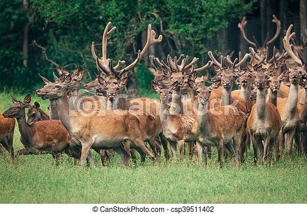a herd of red deer in a forest - csp39511402