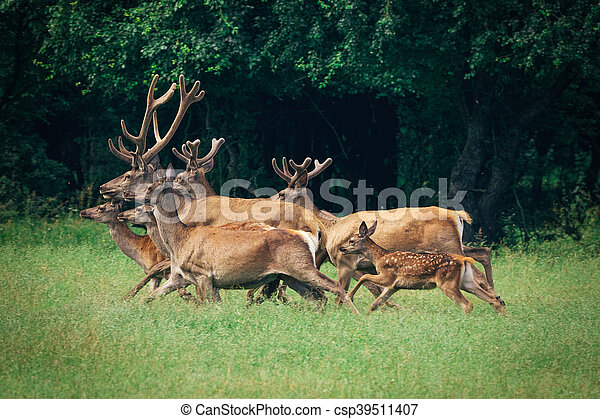 a herd of red deer in a forest - csp39511407