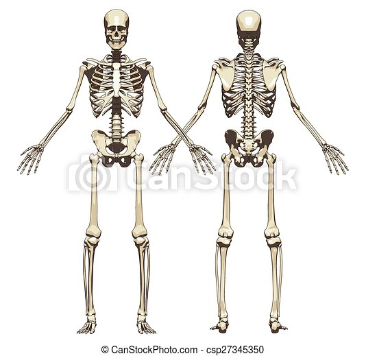A human skeleton. front and back view isolated on a white background ...