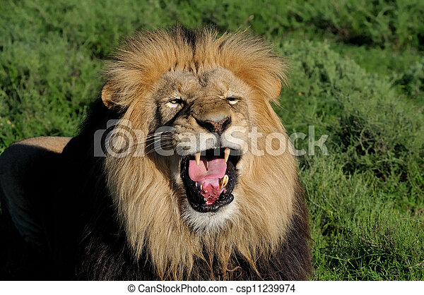 A Kalahari lion, panthera leo, in the Kuzuko contractual area of the Addo Elephant National Park in South Africa - csp11239974