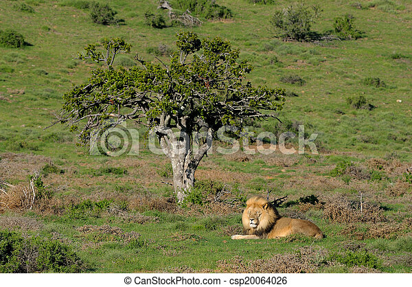 A Kalahari lion, panthera leo, in the Kuzuko contractual area of the Addo Elephant National Park in South Africa  - csp20064026