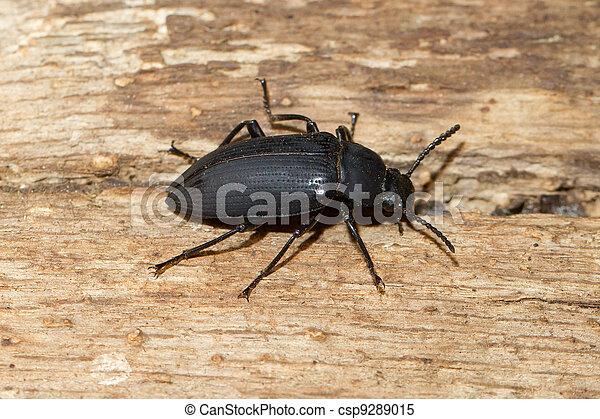 A large black beetle - csp9289015