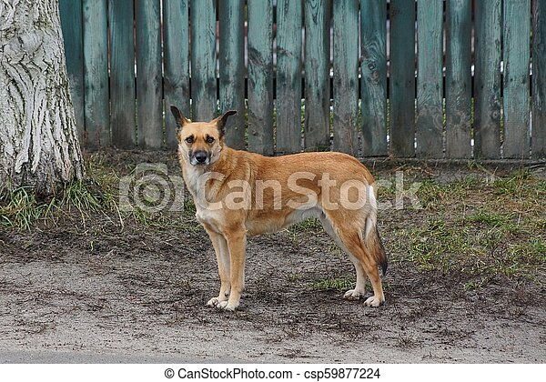 a large brown dog stands outside in the fence - csp59877224