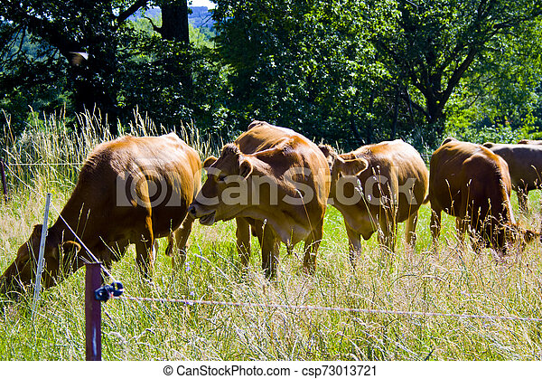 A little cow Herd on a meadow in Bavaria, Germany - csp73013721