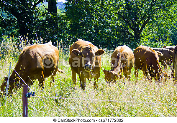 A little cow Herd on a meadow in Bavaria, Germany - csp71772802
