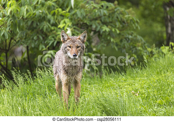 A lone Coyote in summer - csp28056111