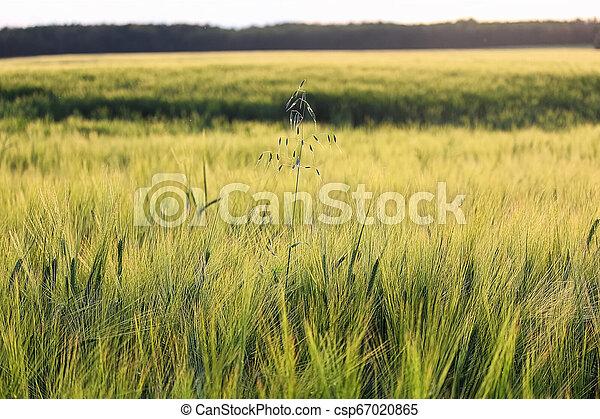 A lone stalk wild oats in a field of barley - csp67020865