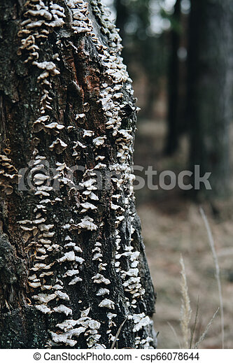 a lot of small mushrooms on a tree - csp66078644