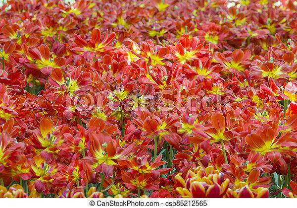 A lot of tulips. Flower carpet - csp85212565